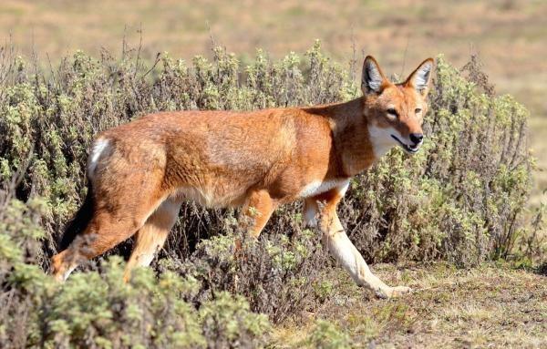 Megeti: Život vlčka