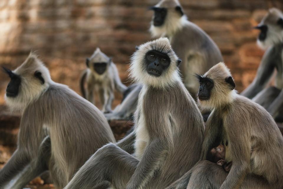 Dokument Opičí králové
