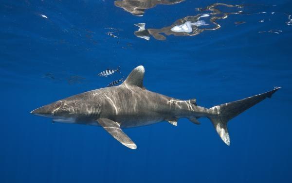 Dokument Alexandra Cousteau tváří v tvář žralokům