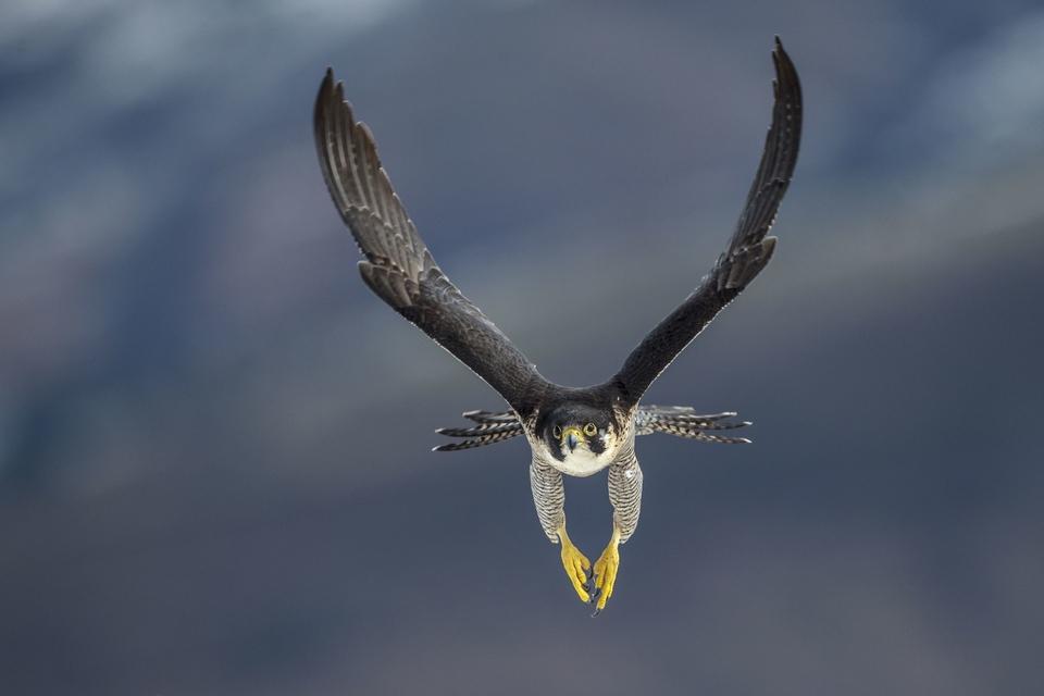 Dokument Sokoli: Nejrychlejší ptáci světa