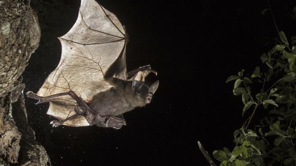 Velcí masožraví netopýři