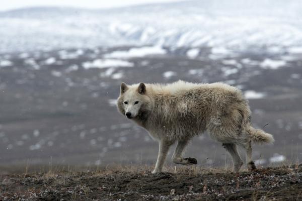 Dokument Bílí vlci: Přízraky Arktidy