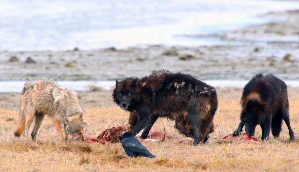 Dokument Jak vlci změnili Yellowstone