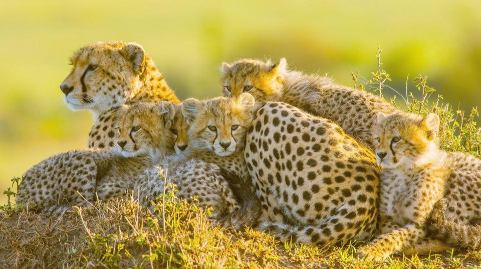 Dokument Fantastická pětka: Příběh geparda