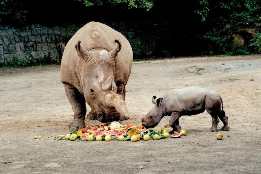 Dokument Poslední šance pro severní bílé nosorožce