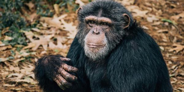 Šimpanzí útočiště