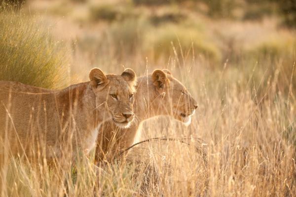 Africké čelisti a drápy